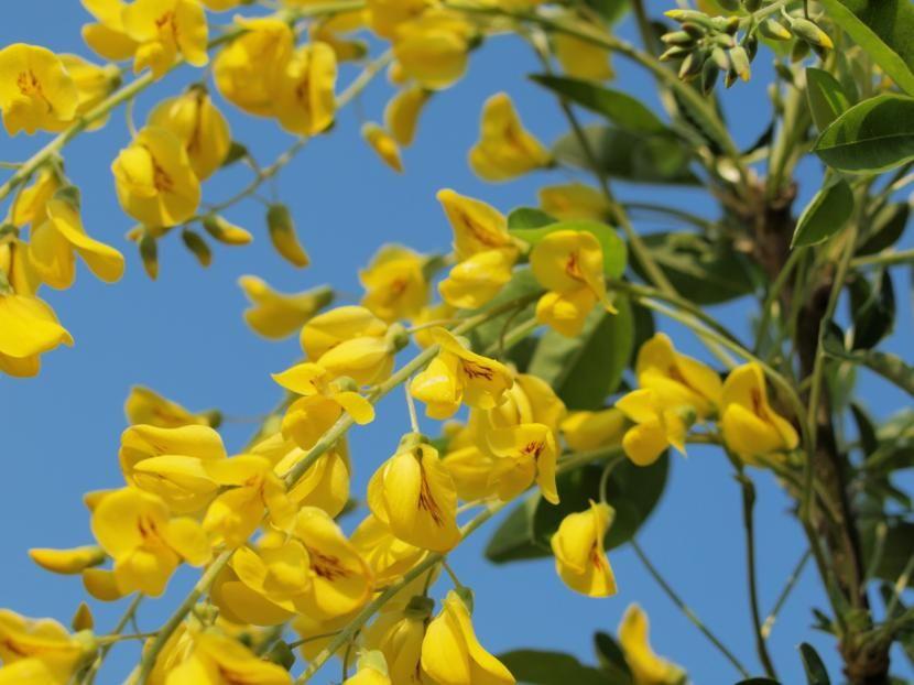 lluvia de oro un precioso rbol de flores colgantes http