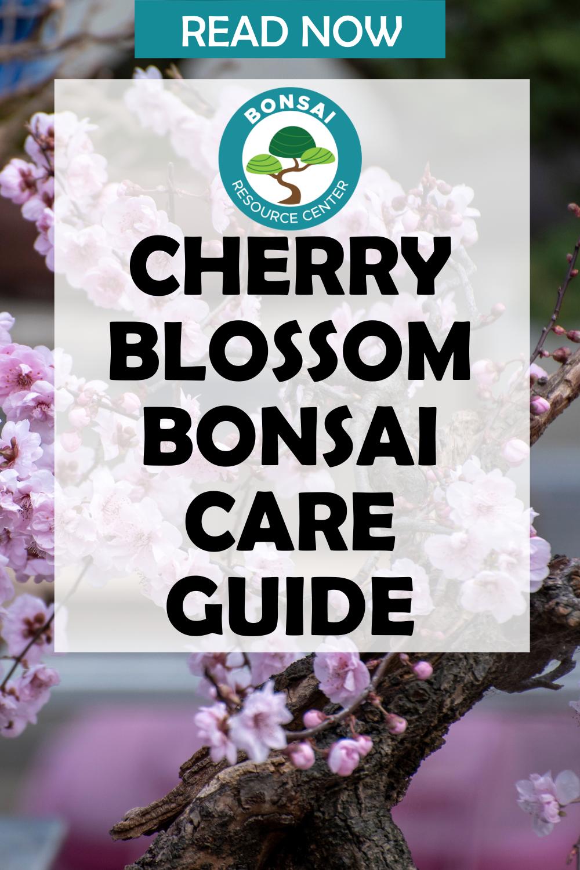 Cherry Blossom Bonsai Care Guide In 2021 Cherry Blossom Bonsai Tree Bonsai Care Flowering Bonsai Tree
