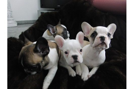 Kusa Mini French Bulldog Puppies For Sale Puppies For Sale