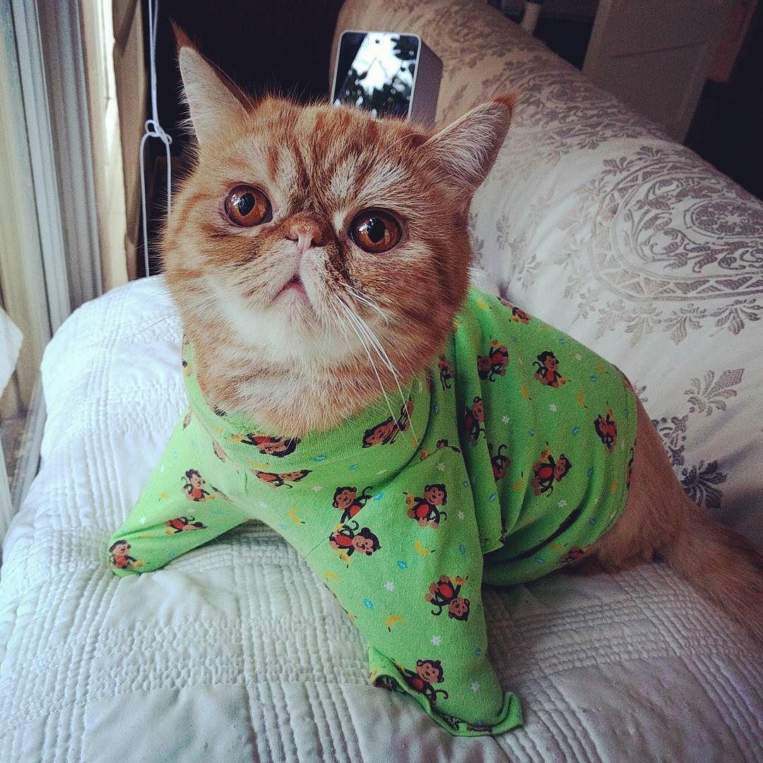 Seal-kin  #exoticshorthair #cat #cute #flatface #meow #mreggs #catlover #exoticsofinstagram #smushface #buzzfeedcats