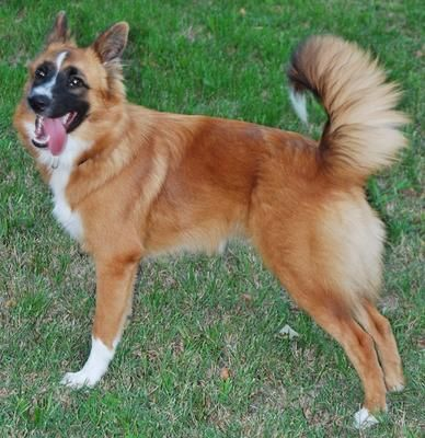 Akita Shepherd German Shepherd Mix Pet Dogs
