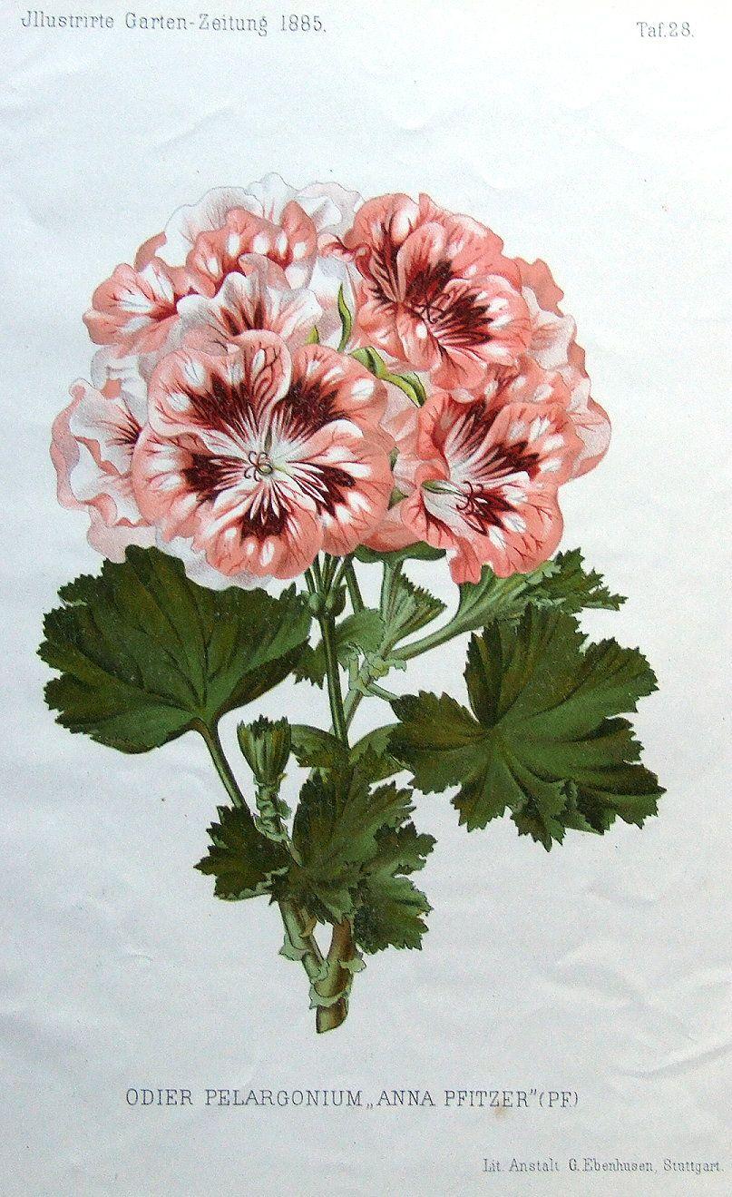 GERANIUM ODIER PELARGONIUM Antique Botanical Flower Print 1885