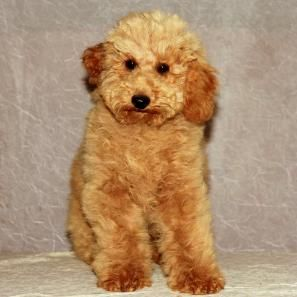 California Akc Poodle Puppies California Apricot Poodle Breeders