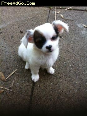 Long Haired Chihuahua Puppies Cincinnati Ckc Long Hair Male