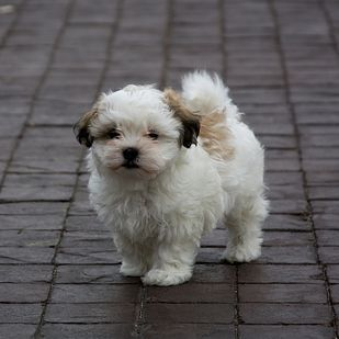 Shih Tzu Maltese Malshi Mixed Breed Dogs Cute Animals Puppies