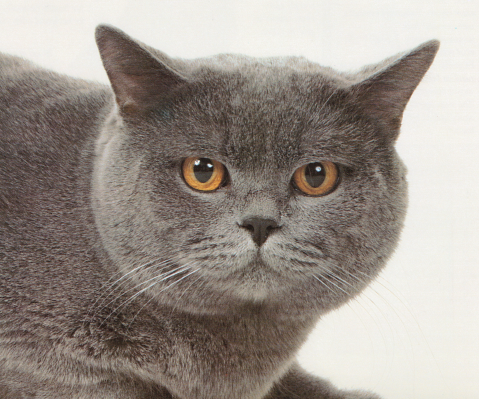 The Chartreux Stands Out From Other Breeds Of Cat Because Of The Distinctive Colour Of Its Coat While Many Breeds O Fluffy Cat Breeds Cat Breeds Chartreux Cat