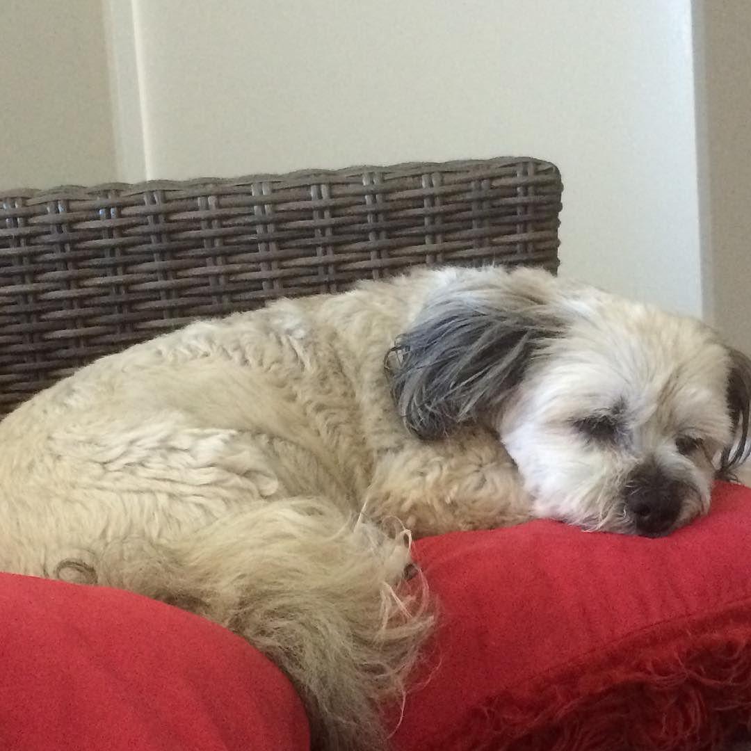 Lily #MaltipooLove #maltipoosofinstagram #maltipoo #dogsofinstagram #instagramdogs #dogs #maltese #dogsofig #dog #petsofinstagram#doglovers #picoftheday #pets #maltesecavalier#malteseofinstagram#malteseofficial #dogoftheday#barkhappy#lacyandpaws#weeklyfluff#odefix#furfriend#ilovemaltese#buzzfeed#buzzfeedanimals#mydogiscutest #mydog#instapic #instagramdogs#love#loves_animals by fentiger379