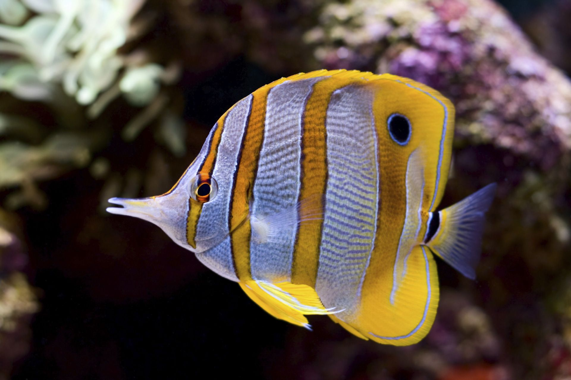 Exotic yellow white striped saltwater fish aquarium for Saltwater reef fish