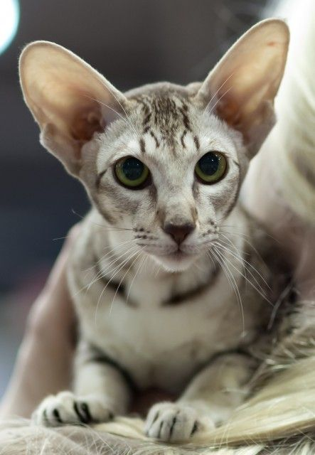 The Oriental Shorthair A Breed Of Domestic Cat That Is Closely