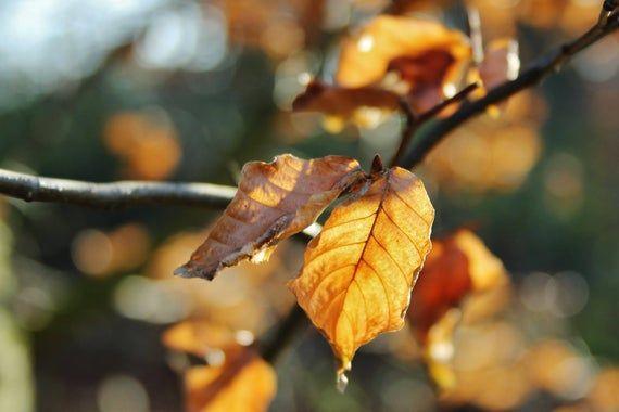 Golden leaves, Macro Photography, Digital Download, Nature Lover, Screensaver, Printable Art, Wall A