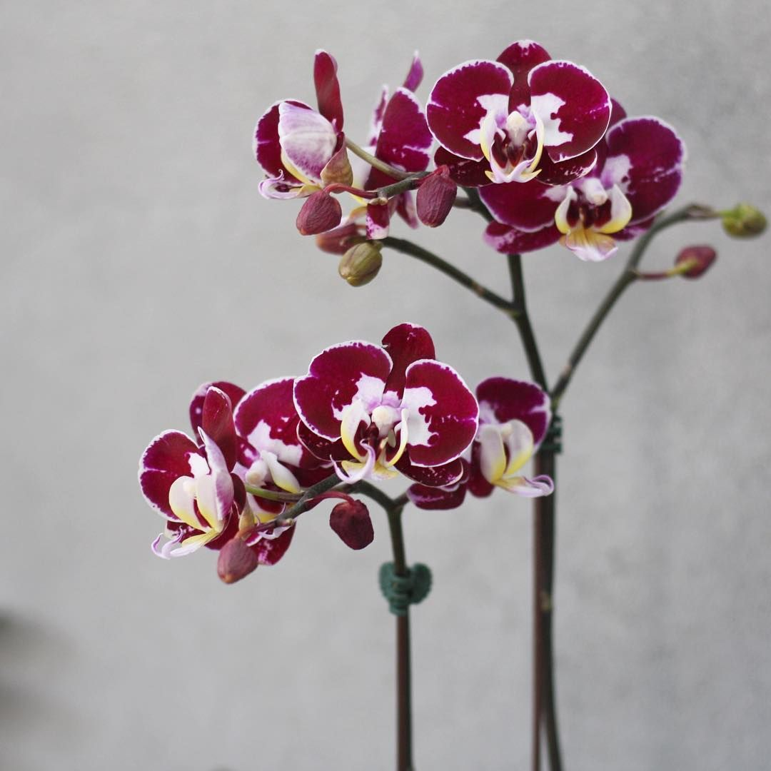 Singapore Flower Bahrain On Instagram Top Of The Mornin To Ya You Can Find These Orchid Beauts In Store Or Over Best Indoor Plants Plants Indoor Plants