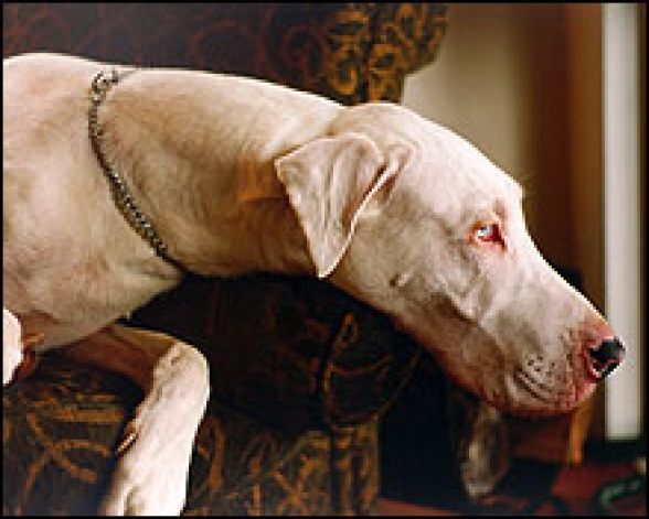 My Dream Dog Albino Great Dane Albino Dog Rare Animals