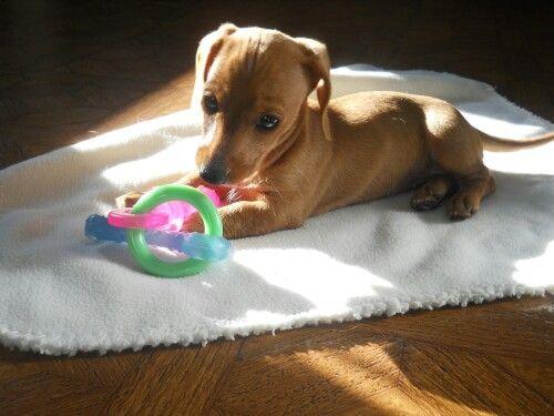 Miniature Dachshund Puppy Lola 8 Weeks Dachshund Puppy