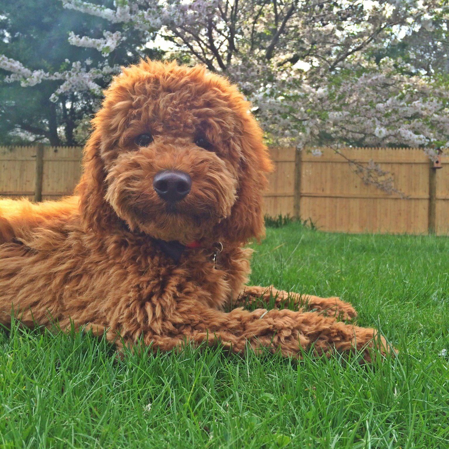 Double doodle puppy goldendoodle x labradoodle