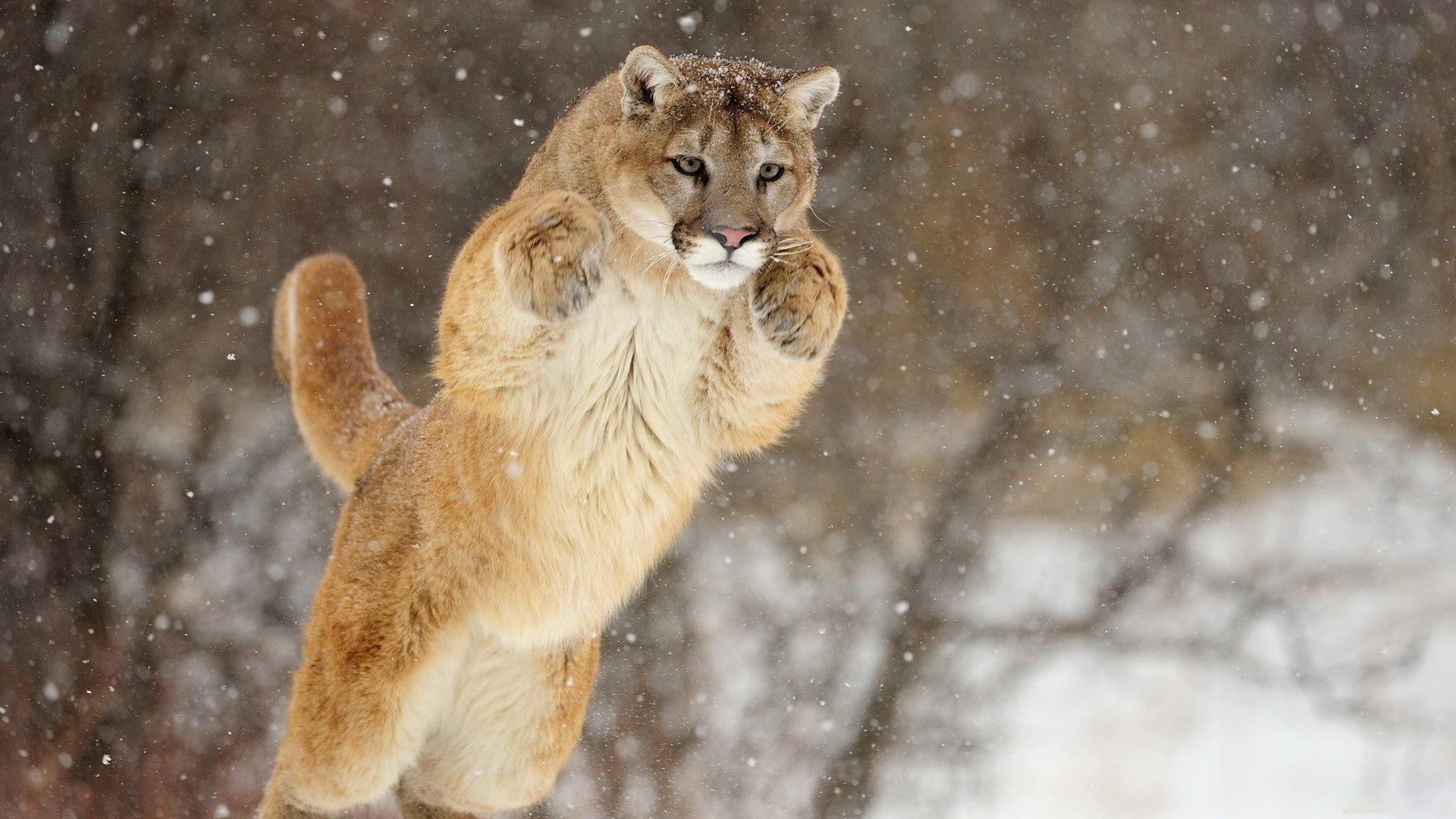 Mountain Lion Leaping Wallpaper