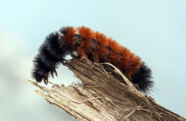 Really Strange Weather Folklore And How To Predict The Weather At Home Wooly Bear Caterpillar Woolly Bear Fuzzy Caterpillar