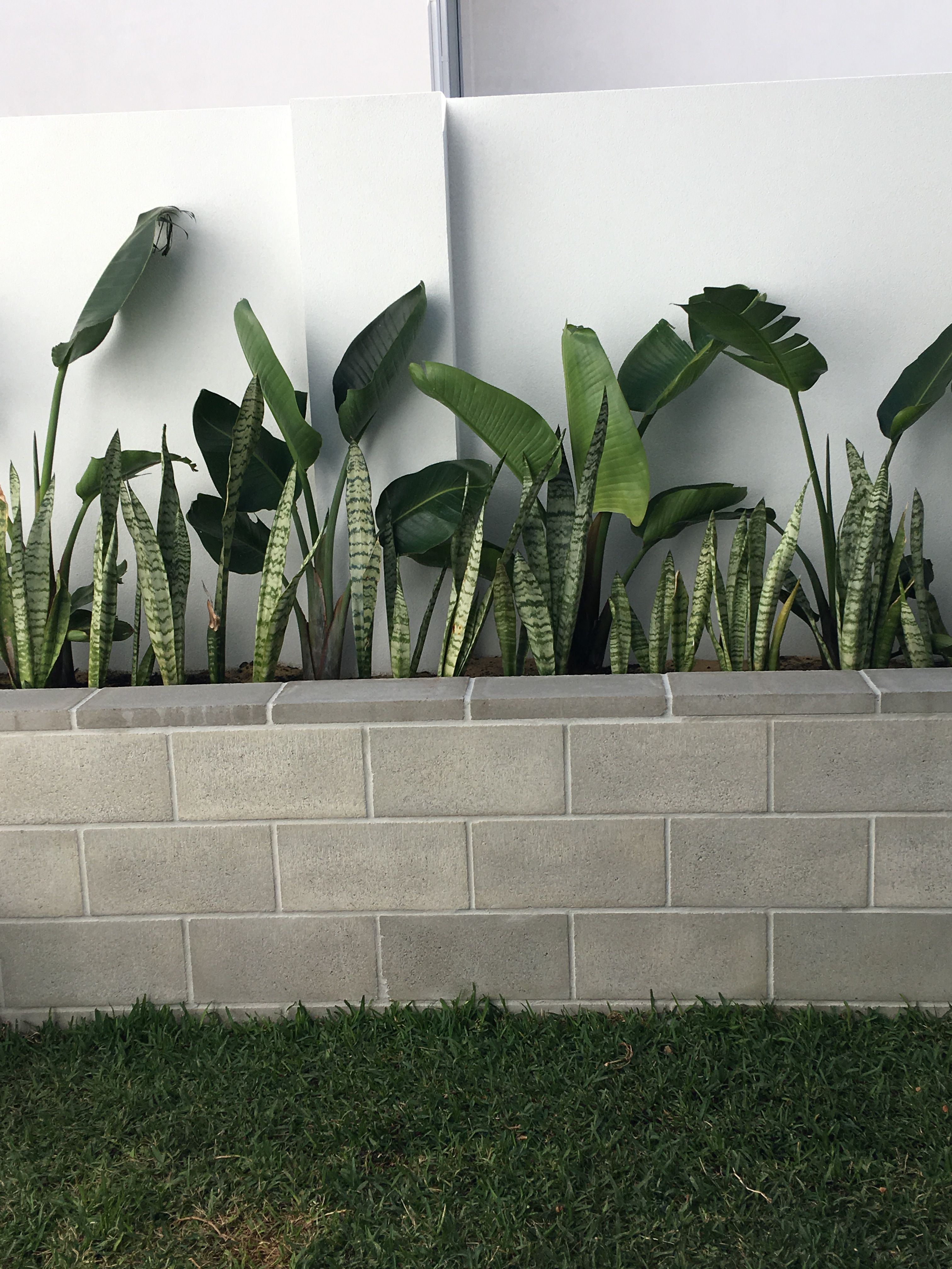 Mother In Law Tongue And Birds Of Paradise Backyard Landscaping Birds Of Paradise Plant Courtyard Gardens Design
