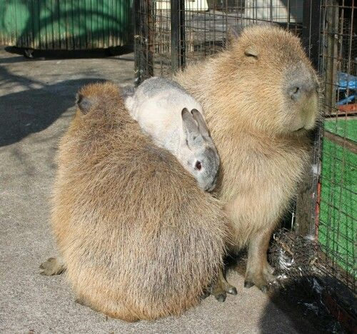 Capybaras and bunny | Animal pictures, Capybara, Funny animal pictures