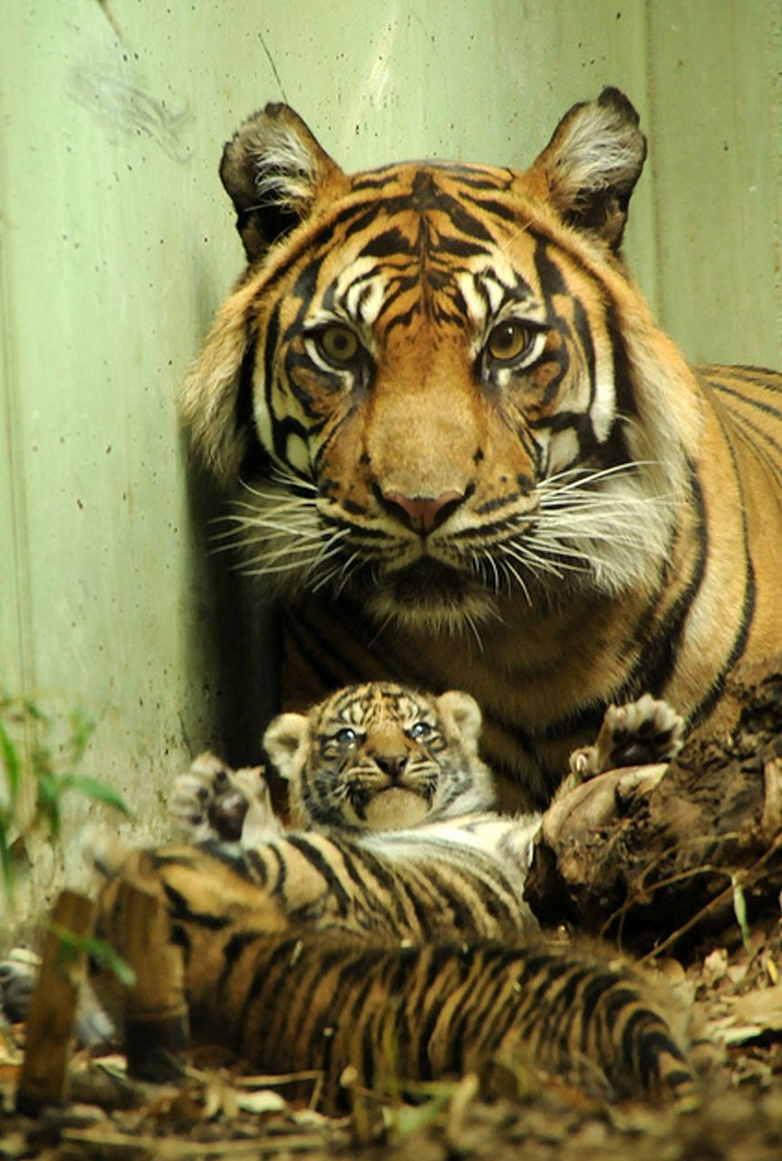 Tiger love  from Sleepless Dreams