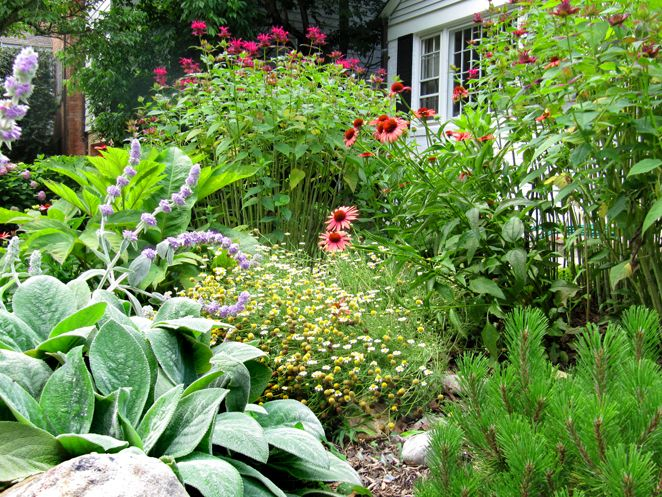Willow Landscape Design | Into The Wild Native Wildflower And Rock Garden:  Lambs Ear, Images