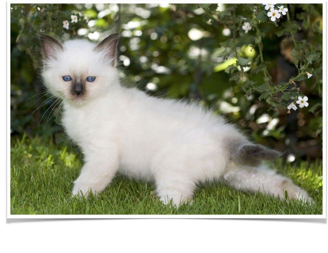 Birman cats for sale california 22 ca birman cats for