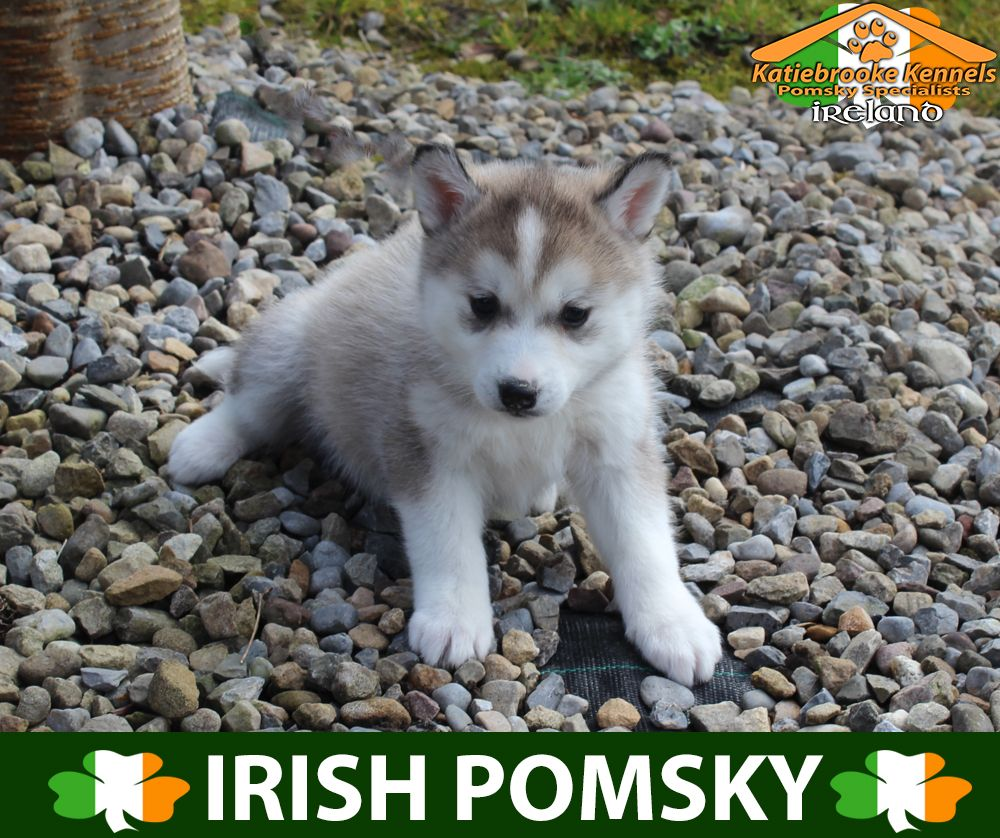 Katiebrooke Kennels Pomsky Specialists Ireland 1500 Uk 2000