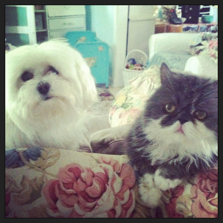 Bf S Bailey Mr Bean Maltese Persian Dog Heaven Baby Maltese Maltese