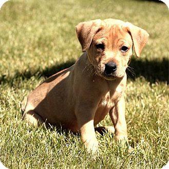 South Haven, MI Boxer/Labrador Retriever Mix. Meet Ben