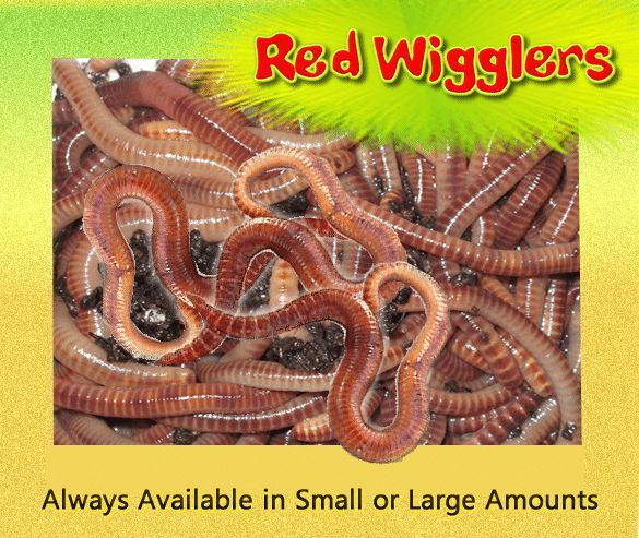Red Wiggler Eisenia Fetida Worms Plus 8 Oz Of Crazy Stuff Worm Din Kick Start The