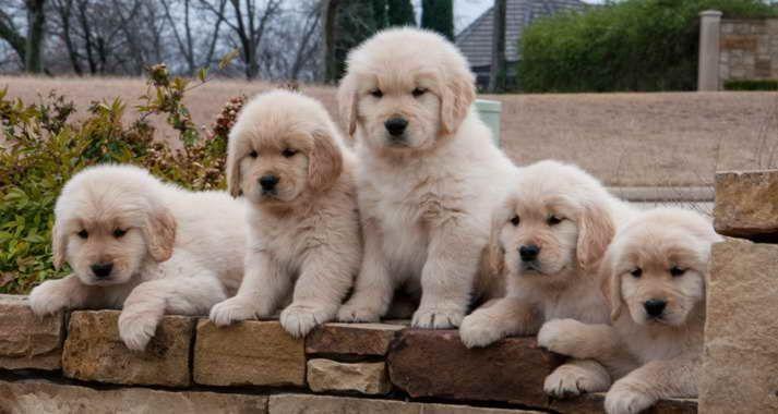 Austin Golden Retriever Rescue Retriever Puppy Golden Retriever Golden Retriever Rescue