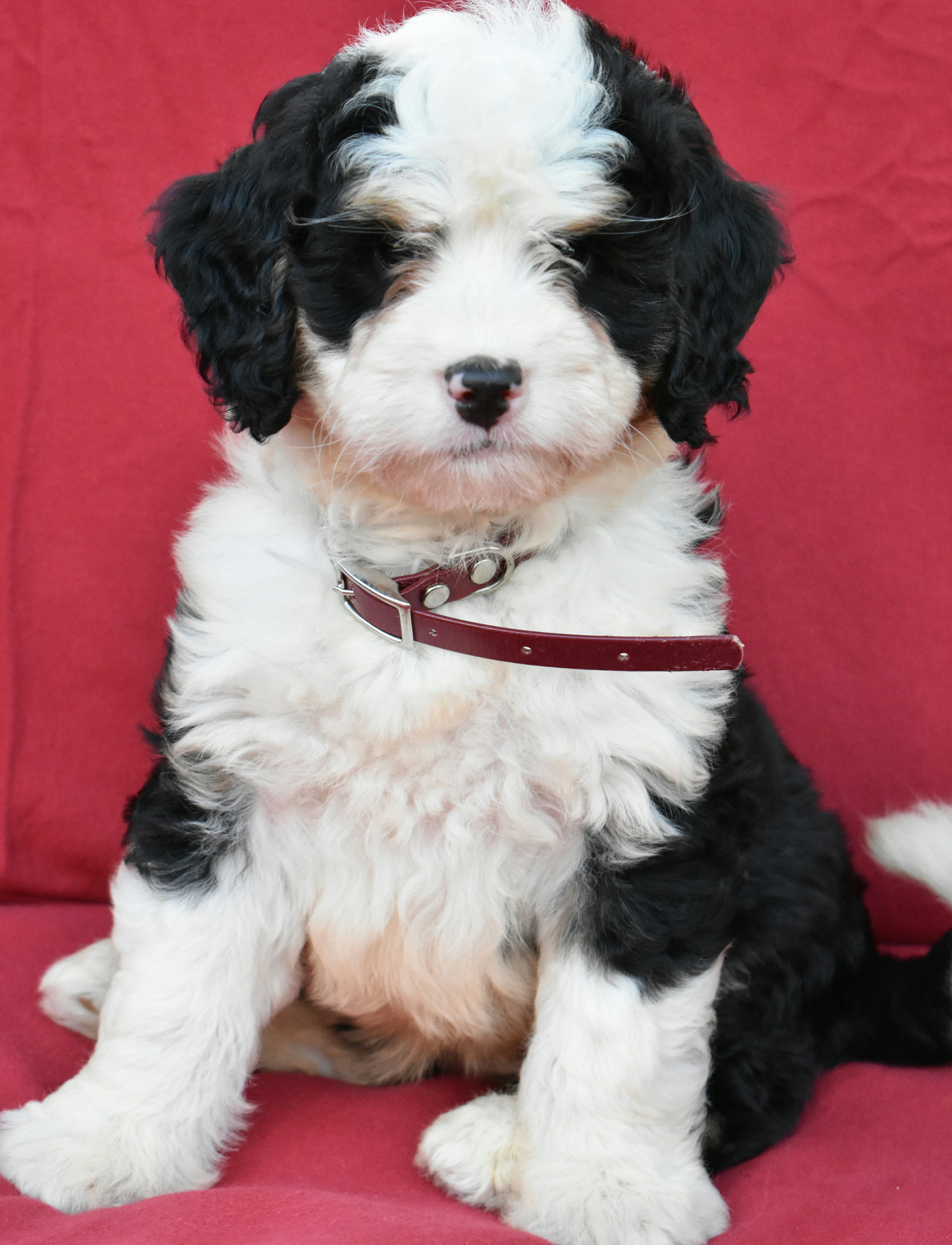 Puppies For Sale Bernedoodle Puppy Adoption Bernedoodle Puppy