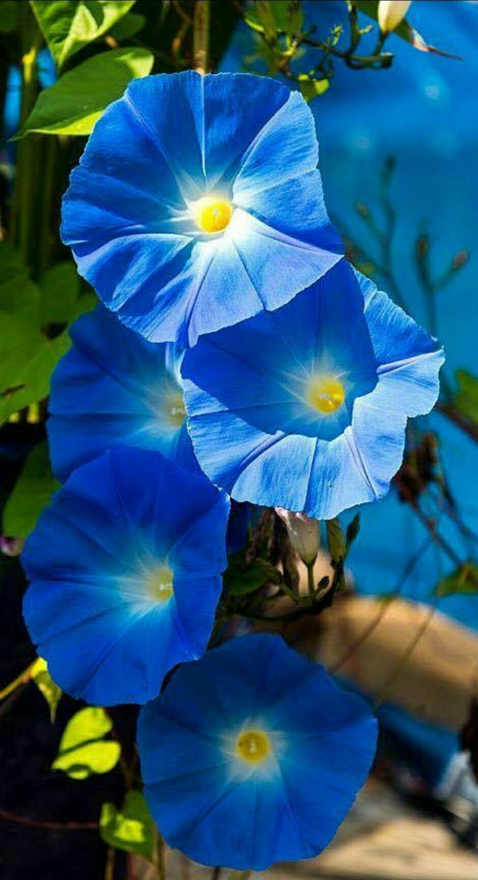 Pin By Rick Price On Flowers And Gardens Morning Glory Flowers Climbing Flowers Blue Morning Glory