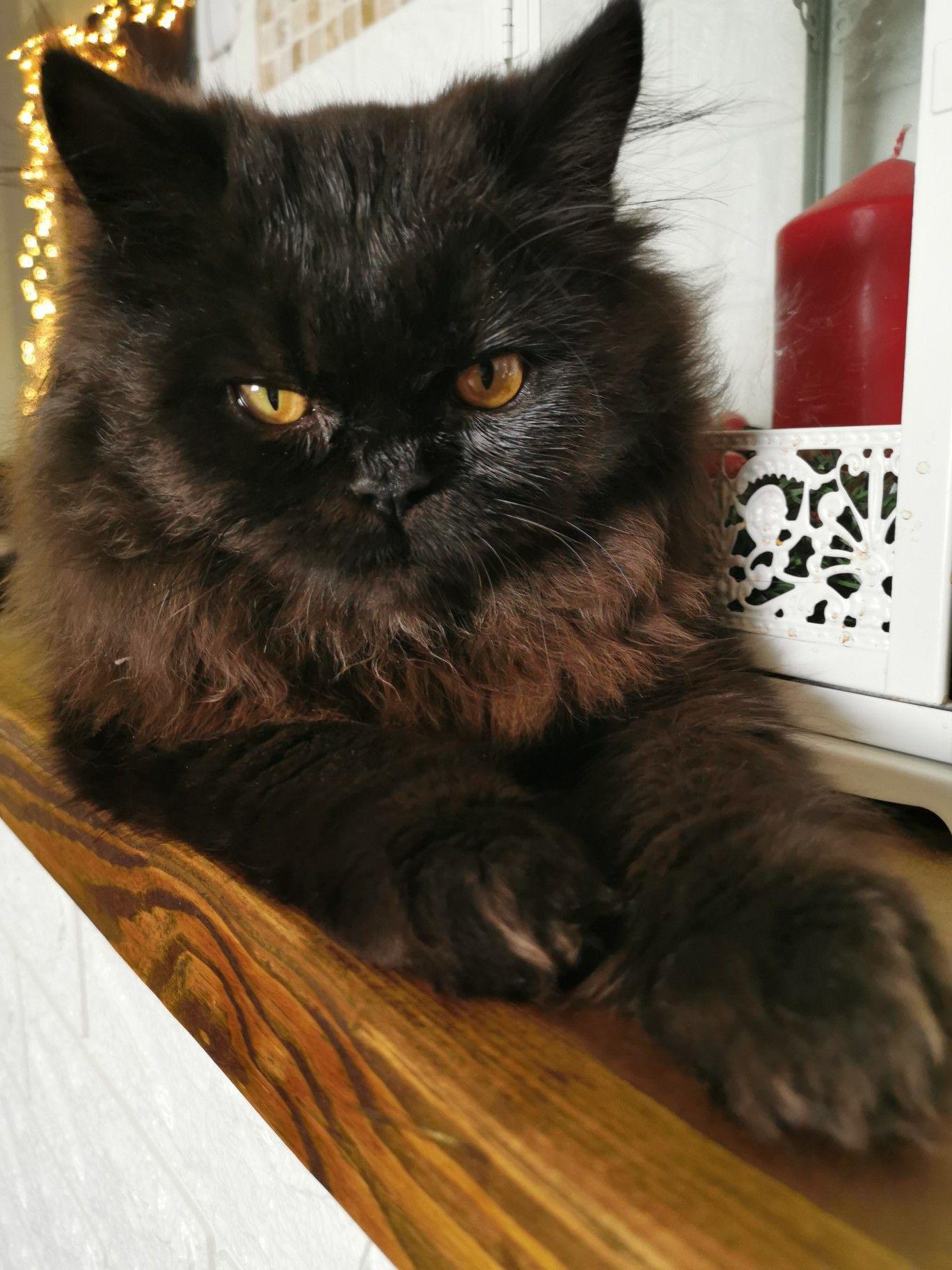 #rengartheinstacat #rengar #kittens #gatitos #persiancat #persiancatstagram #persiancats #persiancatlovers #gatospersas #gatospersa #gatos #gatosmonterrey #gatosmexico #persacat #gatosdeinstagram #catsofinstagram