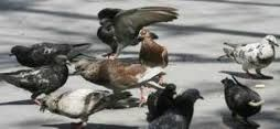 Bailén le declara la guerra a las palomas con aves de cetrería y cajas-trampa