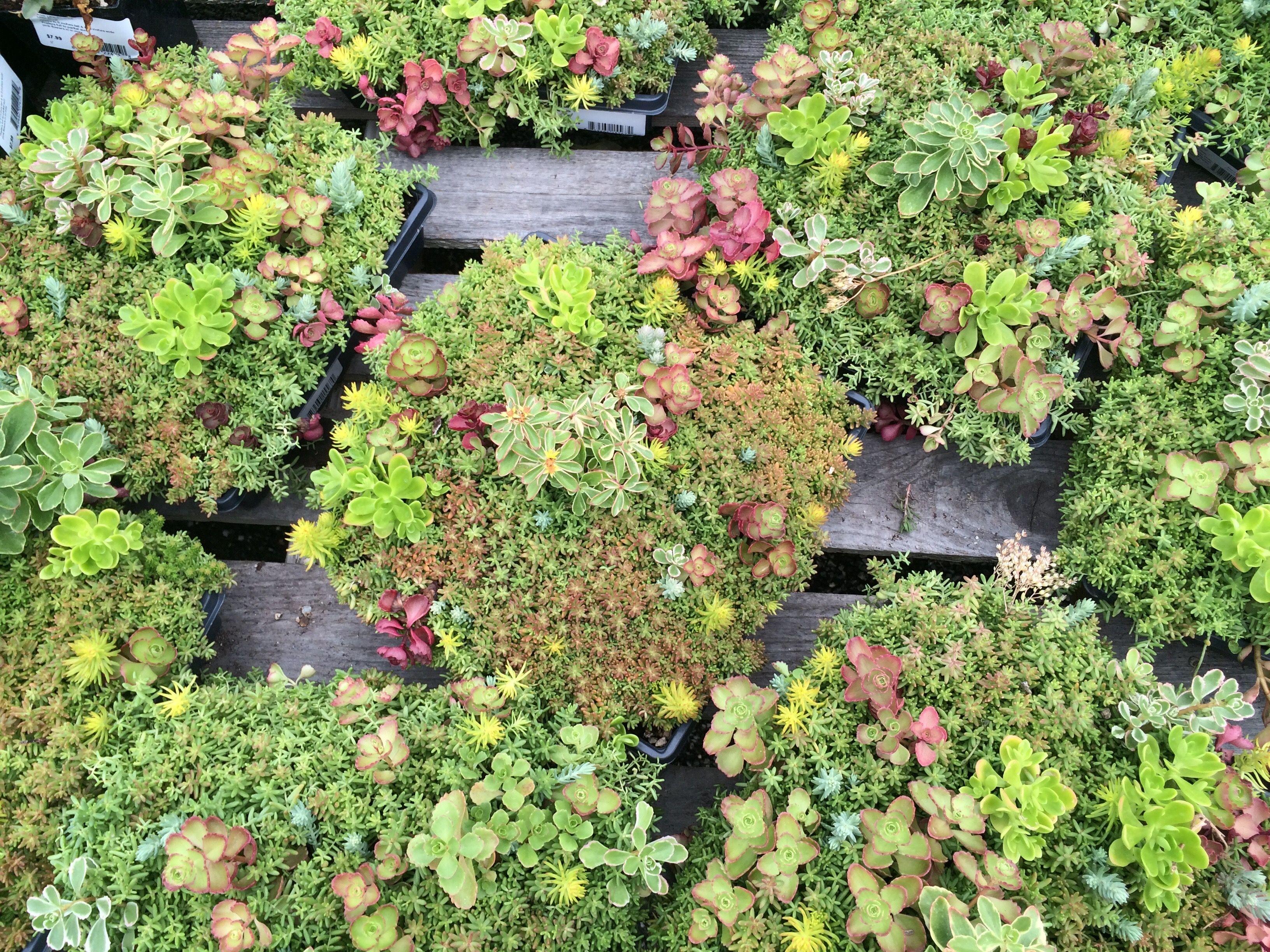 Sedum Tiles A Great Start For Anyone Interest In Vertical Gardening Garden Nursery Vertical Garden Farmington Gardens