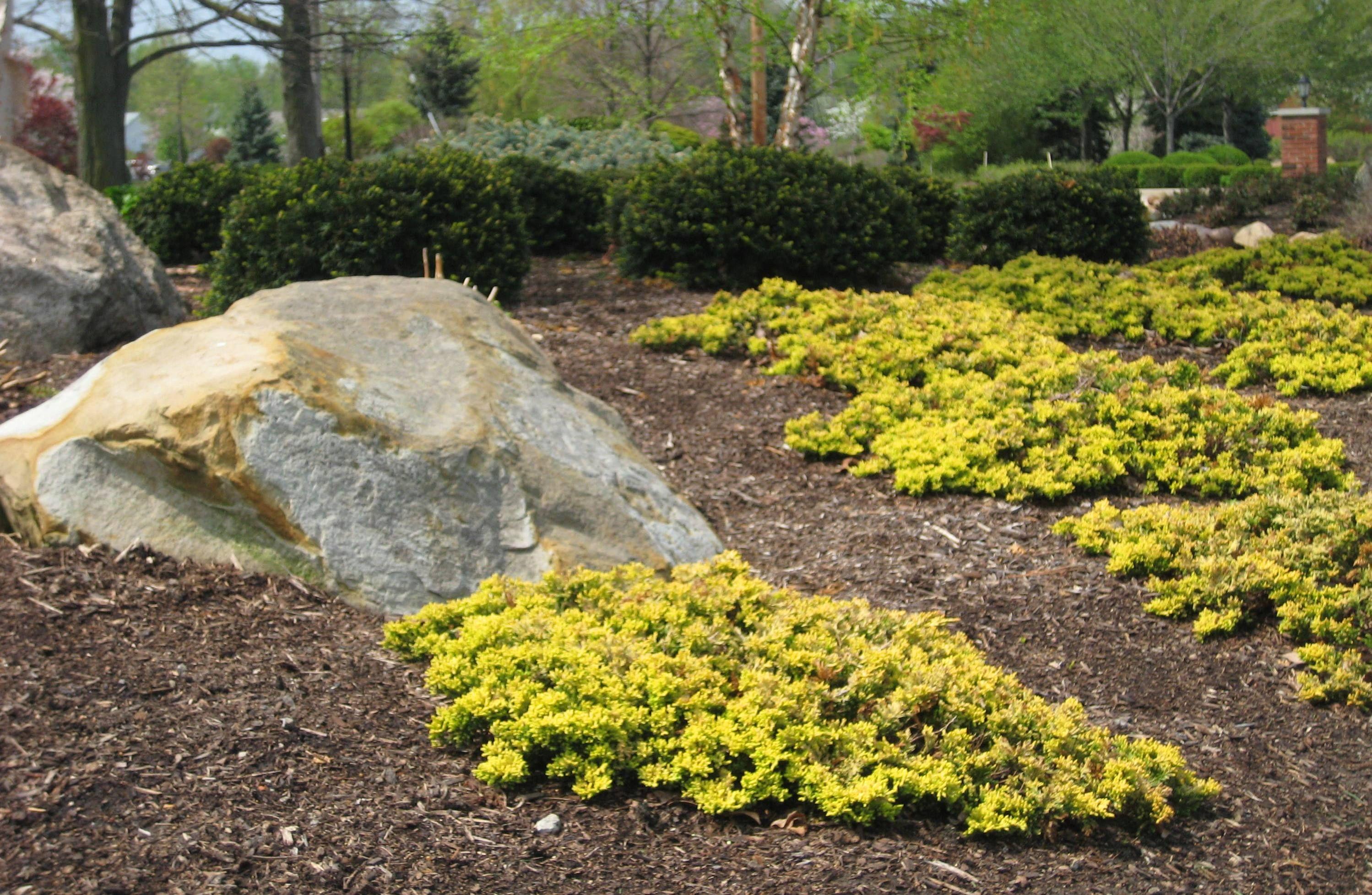 Mother Lode Juniper Rock Garden Plants Garden