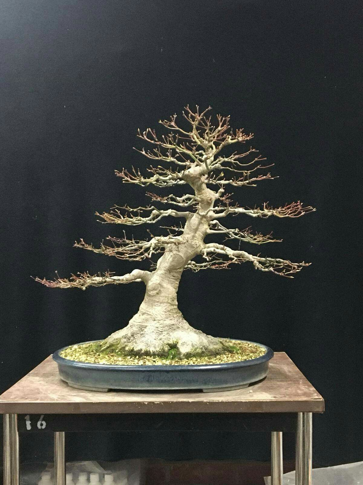 Bonsai Tree With Images Maple Bonsai Bonsai Tree Bonsai