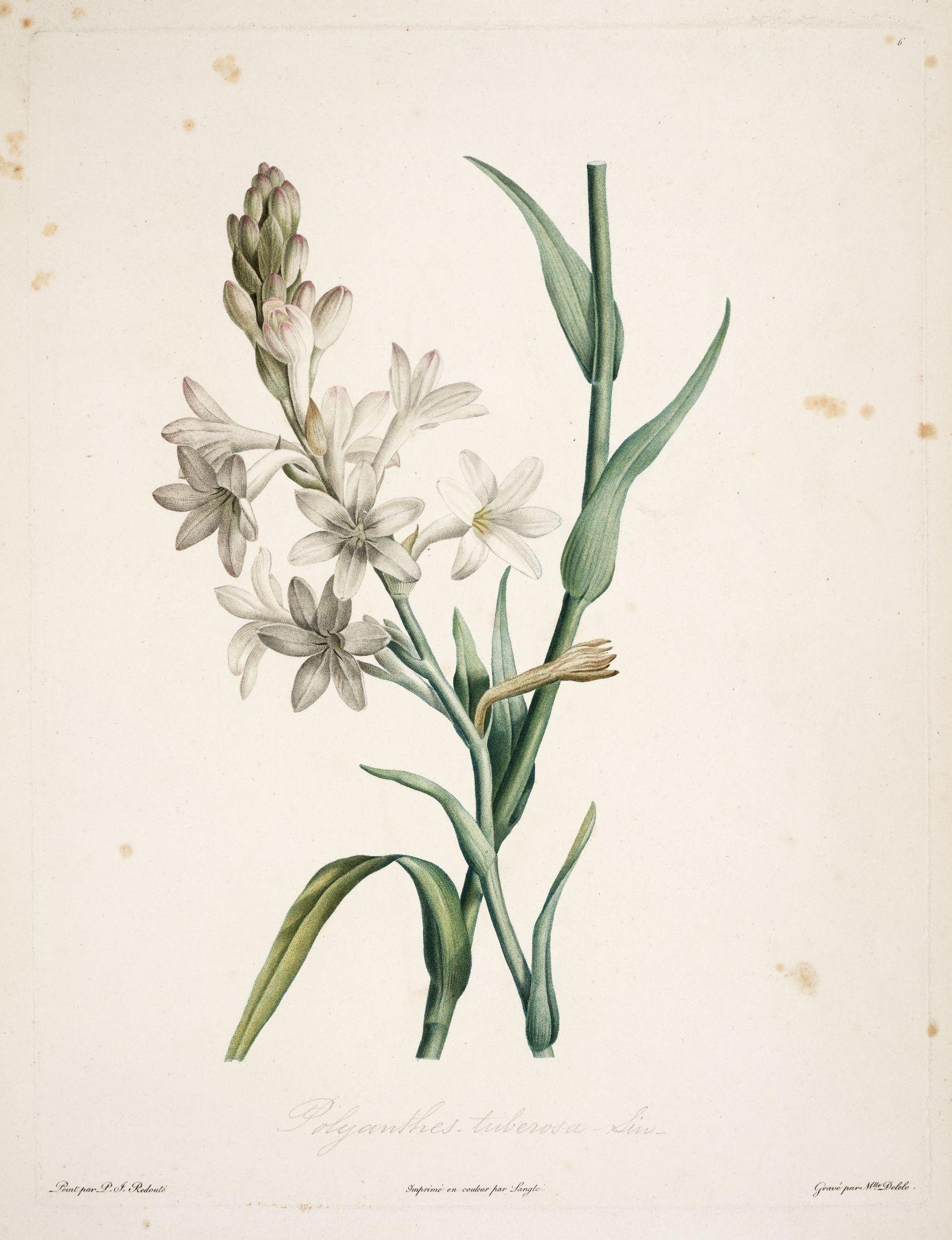 The Tuberose With Images Botanical Drawings Botanical