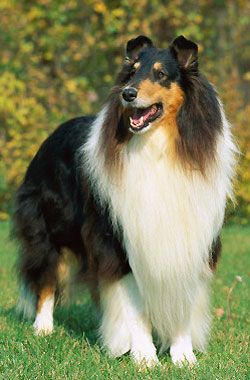 Colley Rough Collie