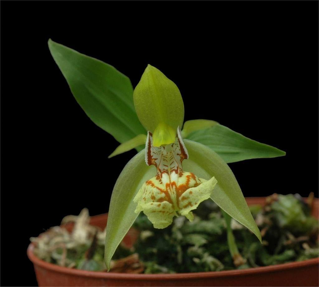 Rare orchid species bloom size coelogyne schilleriana