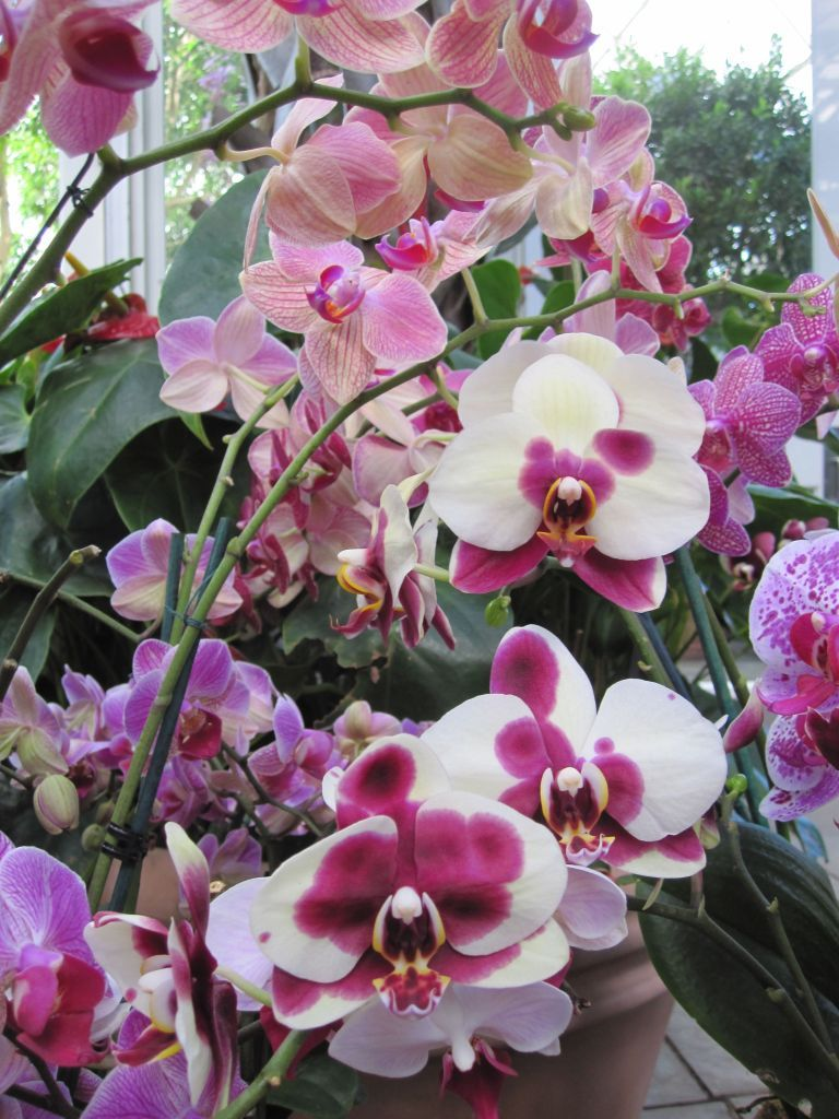How to cut a phalaenopsis orchid spike orquídeas pinterest