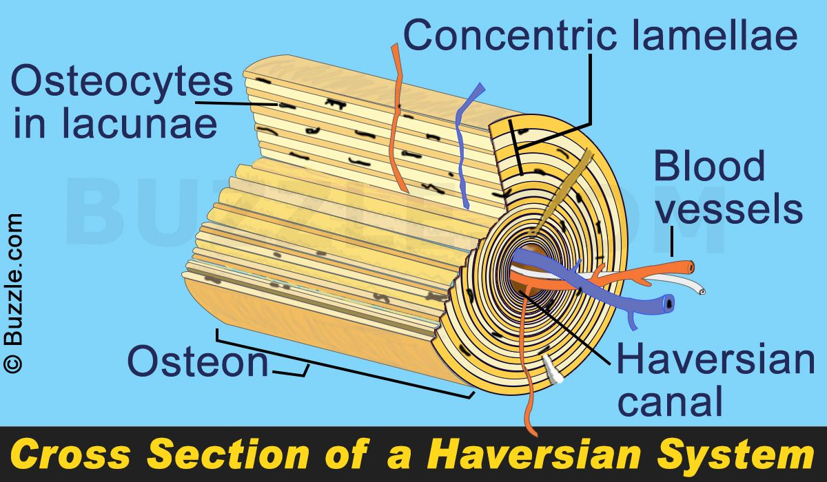 The Term Haversian System Refers To The Arrangement Of Cylindrical
