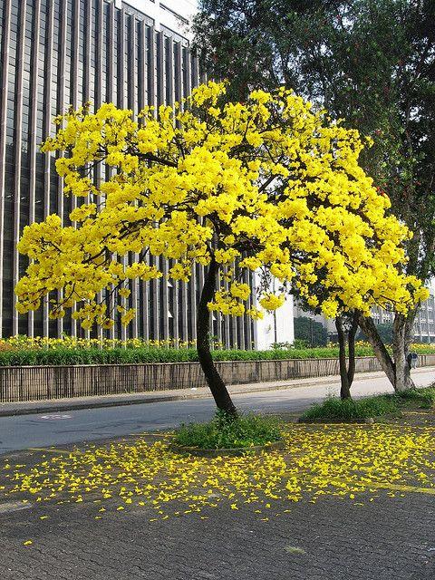 El guayac n amarillo de regreso rboles pinterest for Arboles florales para jardin