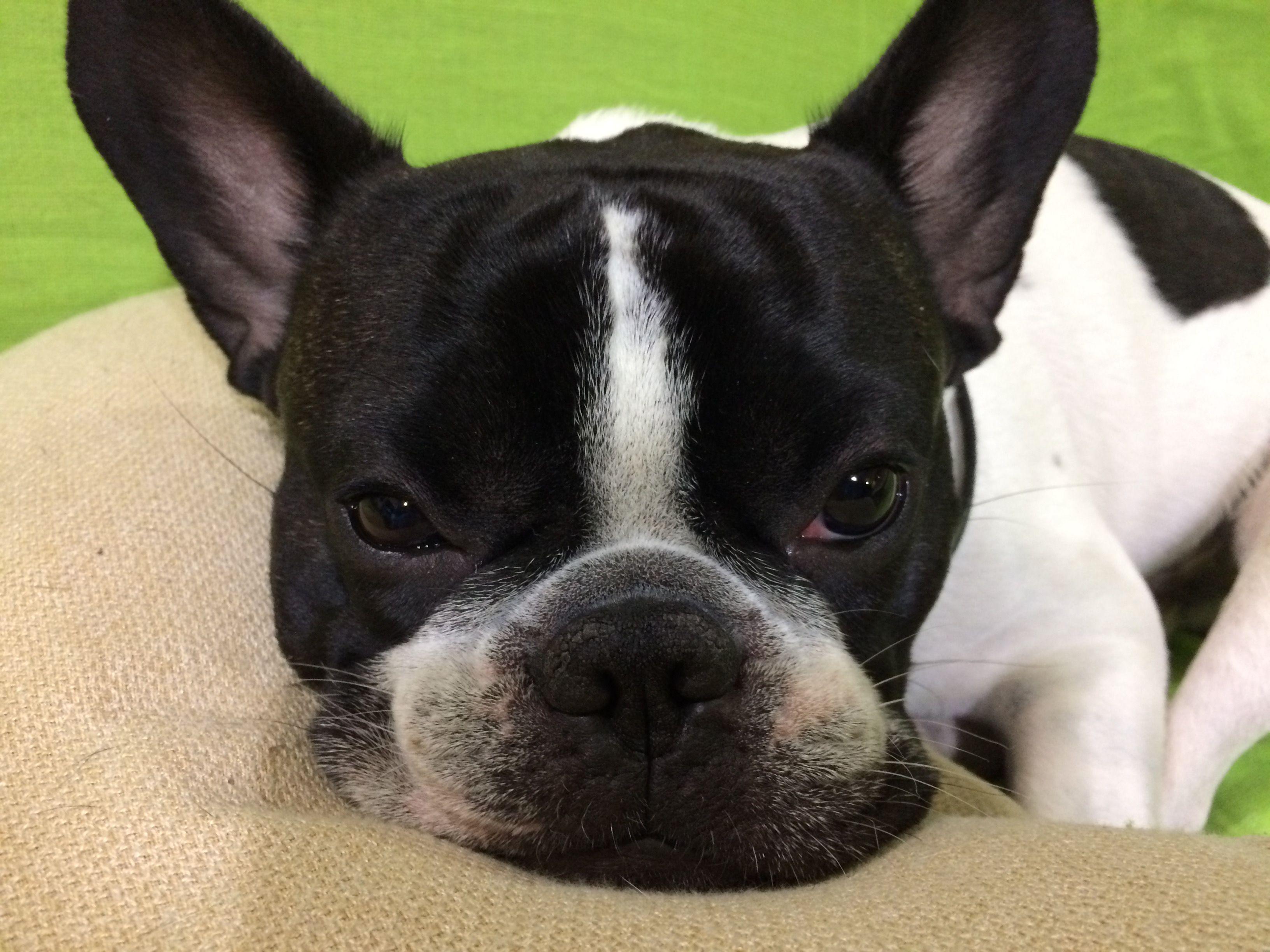 Oreo, the french bulldog Boston terrier, Terrier, Puppies