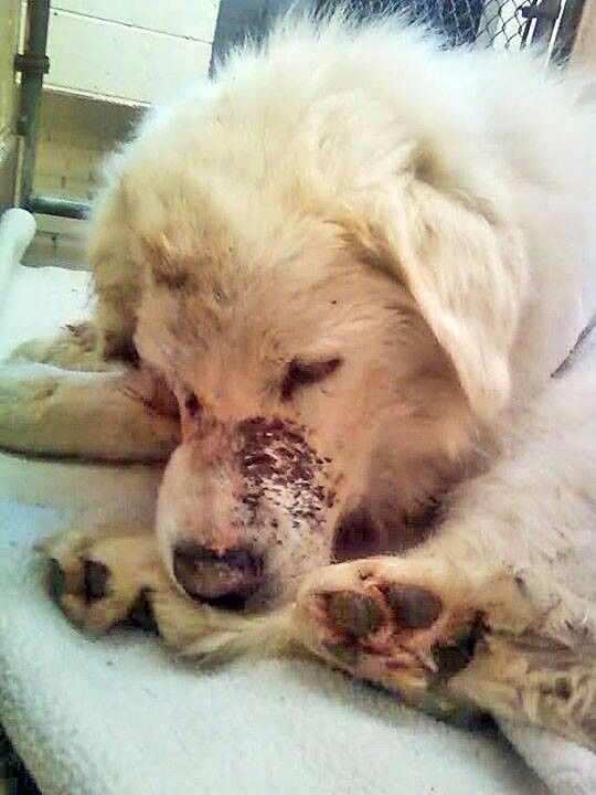 Donations Requested For Medical Care Big Fluffy Dog Rescue Big Fluffy Dogs Animals