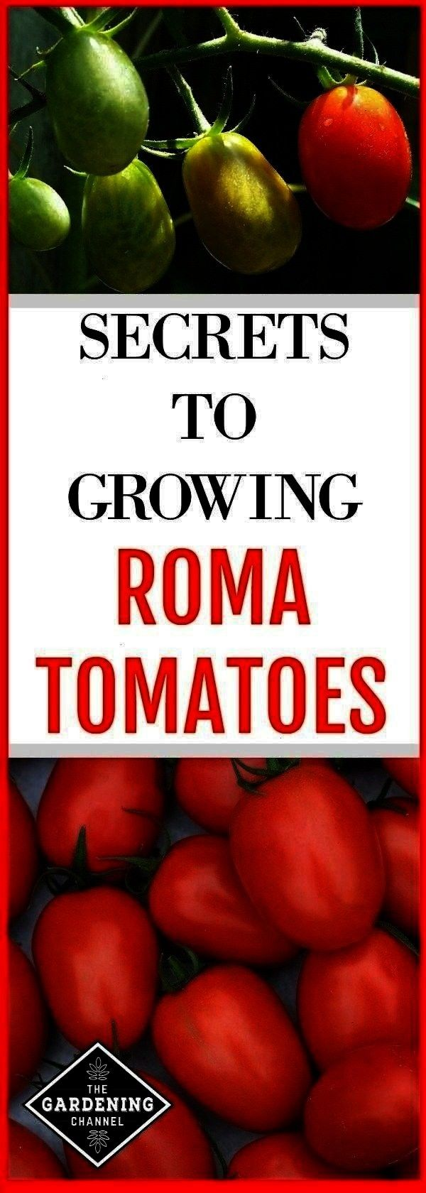 garden and roma tomato harvest with text overlay secrets to growing roma tomatoesroma tomatoes growing in the garden and roma tomato harvest with text overlay secrets to...