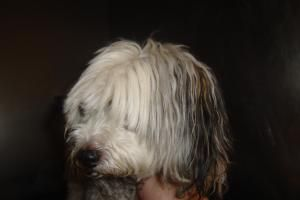 90 92 1 24 Is An Adoptable Poodle Dog In Flint Mi Adoption