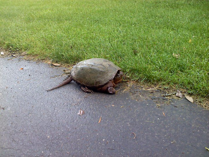 Snapping Turtle Going For A Stroll Around Meadowlark Botanical Gardens.  Vienna, VA