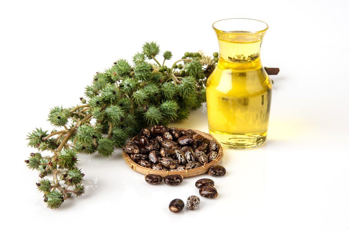 زيت الخروع يستخرج من بذور نبات الخروع Ricinus كومليس وهي من الدهون الثلاثية التي تتكون من Castor Oil For Hair Growth Castor Oil For Hair Castor Oil For Skin
