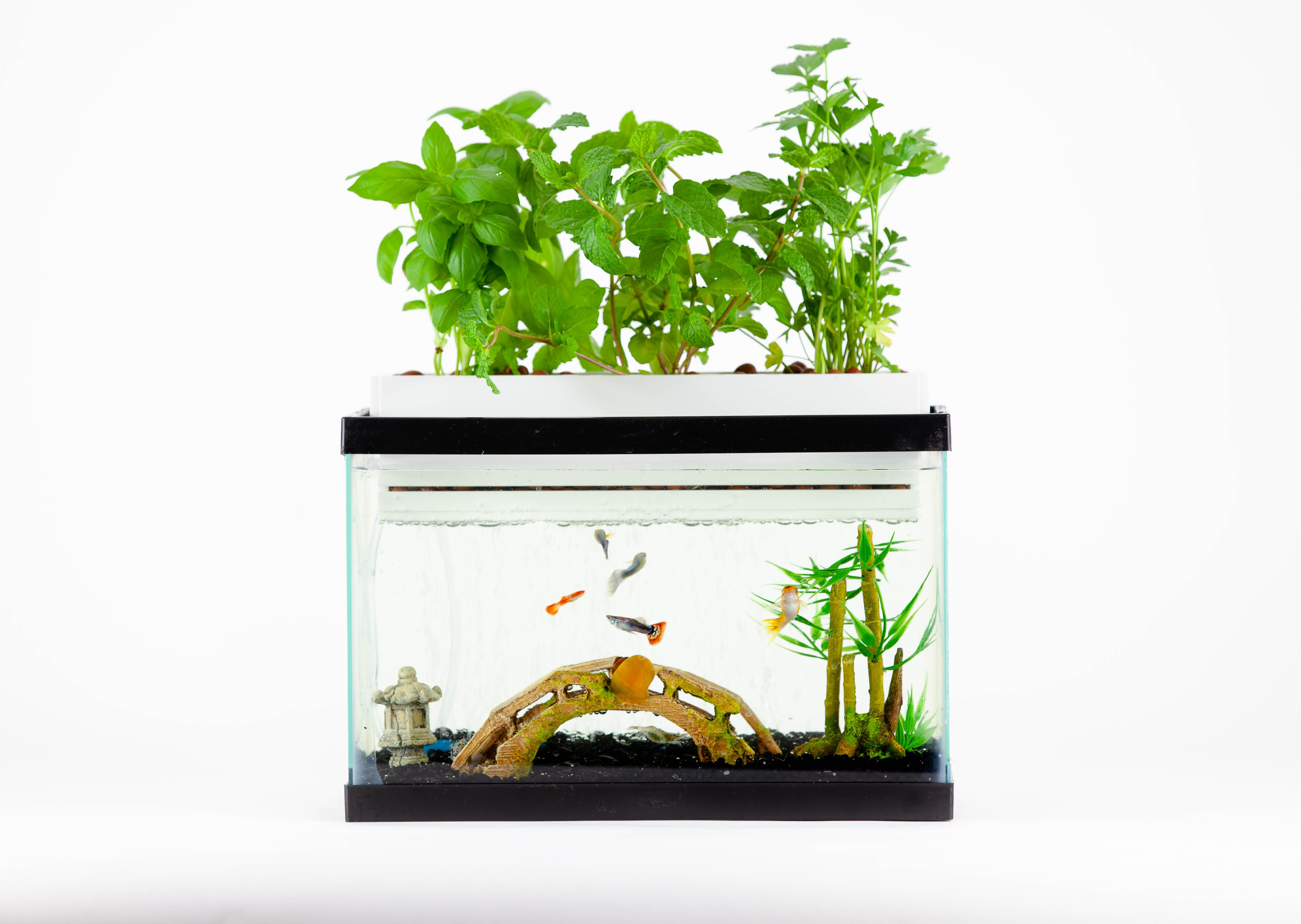 Turn Your Aquarium Into a Herb Garden! Indoor aquaponics